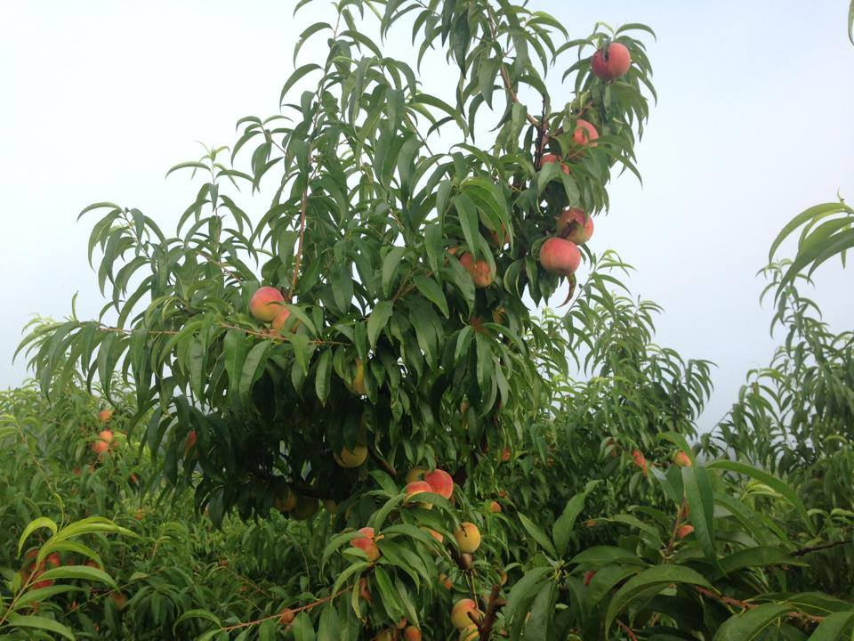 Peaches growing on Peach Trees in Ellijay
